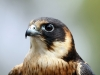 An Australian Hobby at Raptor Domain (3)