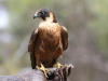 An Australian Hobby at Raptor Domain (4)
