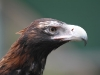 Wedge-Tailed Eagle at Raptor Domain