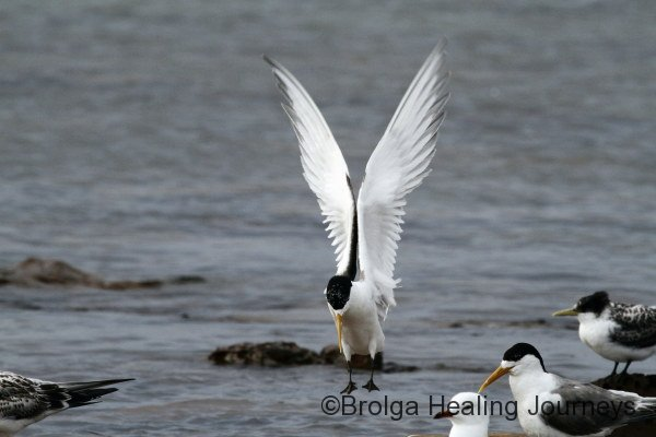 Like an angel landing, Crested Tern at Stokes Bay