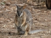 Tammar Wallaby at campsite, Stokes Bay
