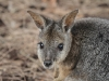 Close-up of Tammar Wallaby