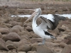 Pelican at Stokes Bay