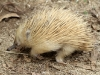 A very blonde young Echidna at Parndana Wildlife Sanctuary