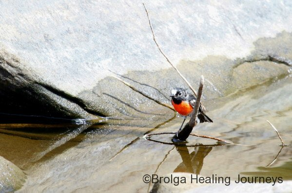 Scarlet Robin, Snake Lagoon walk