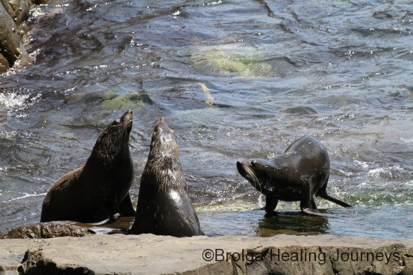 New Zealand Fur Seals at Admiral's Arch, Flinders Chase National Park