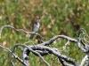 Horsfield's Bronze Cuckoo (I think), Snake Lagoon walk