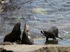 New Zealand Fur Seals at Admiral&amp;#039;s Arch, Flinders Chase National Park