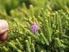Wildflower, coastal heath, Flinders Chase Ntl Pk