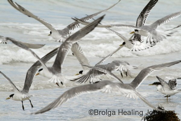 Crested Terns, Vivonne Bay
