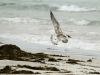 A juvenile Crested Tern prepares to land, Vivonne Bay