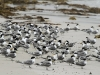 Crested Terns shelter from the wind, Vivonne Bay
