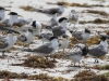More Crested Terns at Vivonne Bay