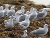 Silver Gulls at Vivonne Bay