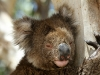 Close-up of the koala