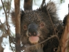 Looking a bit bedraggled, the Vivonne Bay koala after some rain