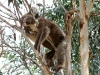 Our local koala relaxes on a hot day at Vivonne Bay. It reached 40 degrees that day!