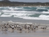 Typical beach scene at Vivonne Bay - birdlife and waves