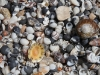 Shells on the beach at Vivonne Bay