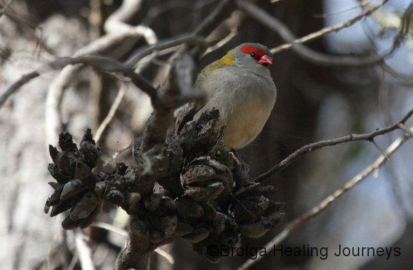 Red-browed Finch, Browns Beach