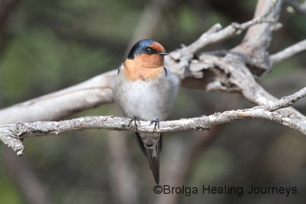 Welcome Swallow, living up to its name in the carpark at Seal Bay, Kangaroo Island