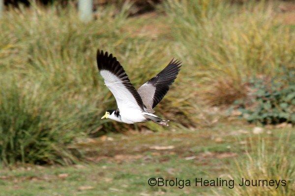 Masked Lapwing, Flinders Chase National Park