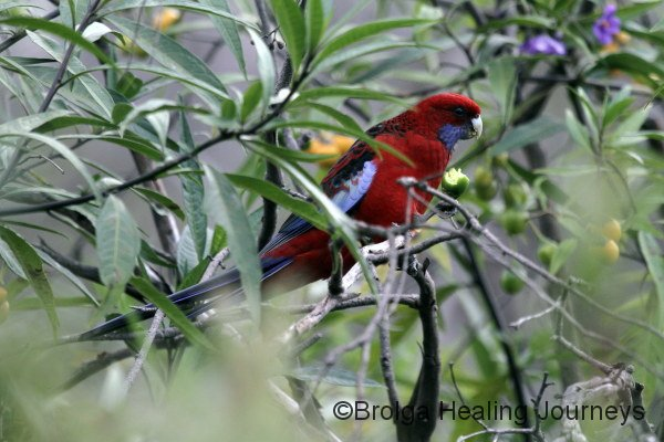 Crimson Rosella, near rocky River campsite in Flinders Chase National Park, Kangaroo Island
