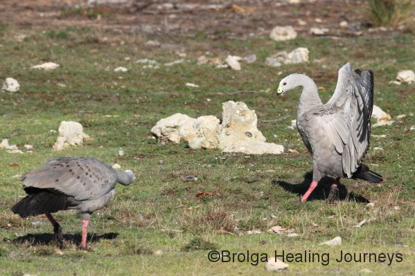 Mating displays, Cape Barren Geese, Flinders Chase National Park. This one reminds me of a ballet pas de deux.