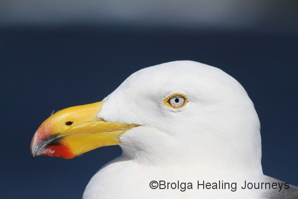 Close-up of Pacific Gull, near Admirals Arch, Flinders Chase National Park