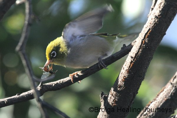 A Silvereye arrives with its insect meal at our campsite, Flinders Chase National Park, Kangaroo Island.