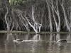 Black Swans on Lashmar Lagoon, Chapman River, Kangaroo Island