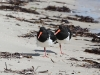 Pied Oystercatchers practise their yoga at Browns Beach
