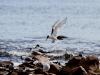 Terns at Stokes Bay, northern Kangaroo Island