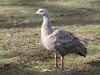 Cape Barren Goose, Flinders Chase National Park, Kangaroo Island. There were hundreds of these geese near our campsite.