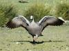 Cape Barren Goose, Flinders Chase National Park, Kangaroo Island