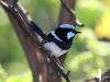 A male Superb Blue Wren in full, glorious colour, at our Rocky River campsite, Flinders Chase National Park, 2.
