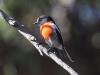 Scarlet Robin near visitor centre, Flinders Chase National Park, Kangaroo Island