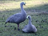 A bonded pair of Cape Barren Geese, preparing for the breeding season, Flinders Chase National Park