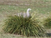 Cape Barren Goose looks out from her nest in the top of a grass mound, Flinders Chase National Park