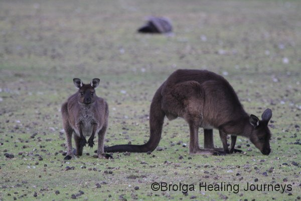 Mother and joey Kangaroo Island Kangaroos.  The KI roo is a subspecies of the Western Grey, but is darker, with longer fur and shorter face