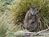 Tammar Wallaby, looking a little bedraggled after overnight rain, Flinders Chase National Park, Kangaroo Island