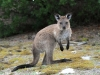 Joey, Kangaroo Island Kangaroo.They have a shorter, broader face and darker, longer fur than their mainland cousins