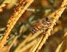 Ligurian bee collects pollen from a Sheoak