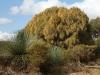 Sheok in full flower, Yacca (grasstrees) in foreground