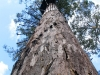 Karri tree - the Bicentennial Tree with its terrifying spiral ladder of spikes.