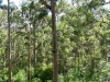 View across the Karri forest from the Bicentennial Tree.