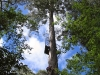 Nirbeeja negotiates the second half of the climb up the tree.
