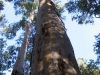 The towering straight trunk of a Karri