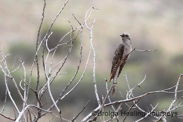 Pallid Cuckoo - our first sighting ever!