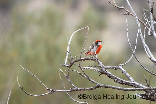 Male Crimson Chat